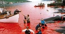 Denmark Dolphin Killing