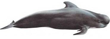 Faroe Islands Whale